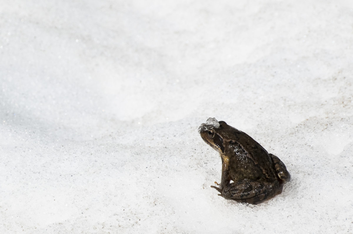 Frog with snow on its head